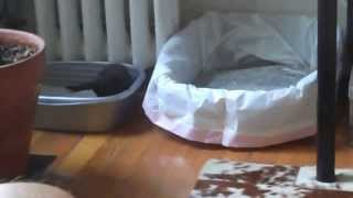 Momma Cat potty training kitten