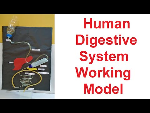 digestive system working model for science exhibition project  |  diy at home | CraftPiller