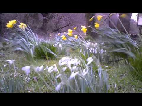 Snowdrops and Daffodils Spring Timelapse