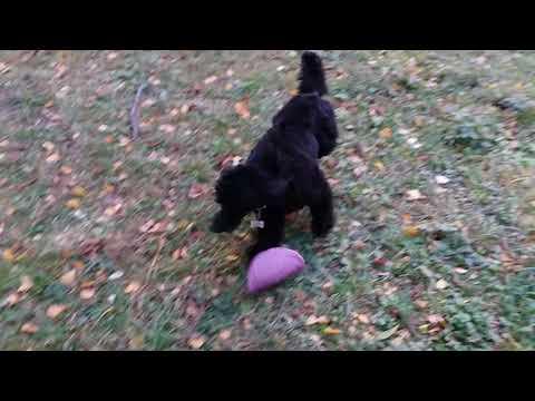 Гуффи - малый черный пудель - 1год 3мес - осенняя прогулка