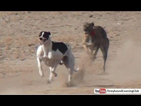 fastest dog in the world | Greyhound race 2018