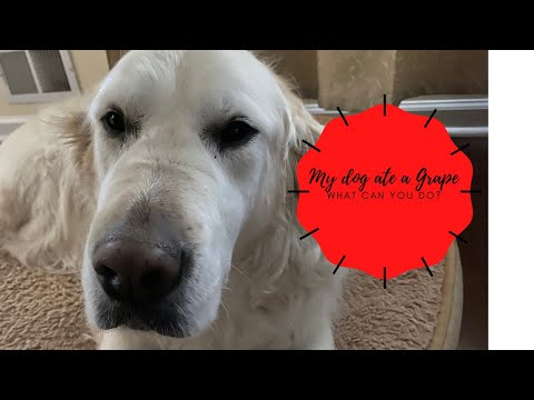 What To Do When Your Dog Eats A Grape!