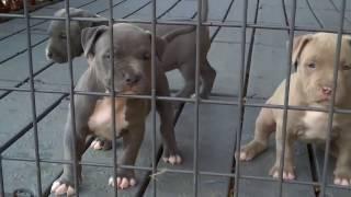 Sevimli Pitbull Yavruları • HD
