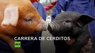 Carreras de cerdos arrancan el Año Nuevo chino