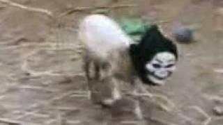 новый КРИК ужасный овец прикол.3gp