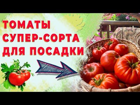 Лучшие сорта томатов для выращивания в Ленинградской области !