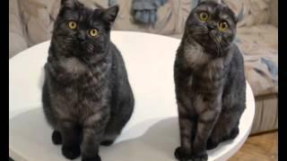 """Шотландские кошки: окрас """"чёрный дым"""""""
