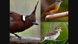 Download Mp3 Masteran Burung Murai Cililin,kapas Tembak Dan Sikatan Londo