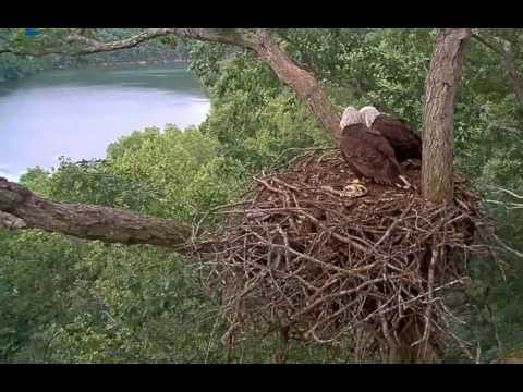 Dale Hollow Eagle Cam, DH2 Returns After Falling 3 Days Ago, 052217