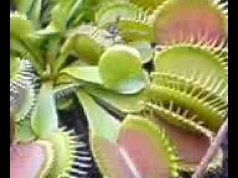Pianta carnivora dionaea muscipula vs ape venus flytrap for Pianta carnivora dionea