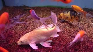 Карпы кои и золотые рыбки в аквариуме!