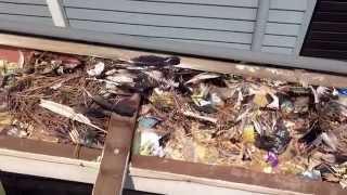 Mite infested birds nest