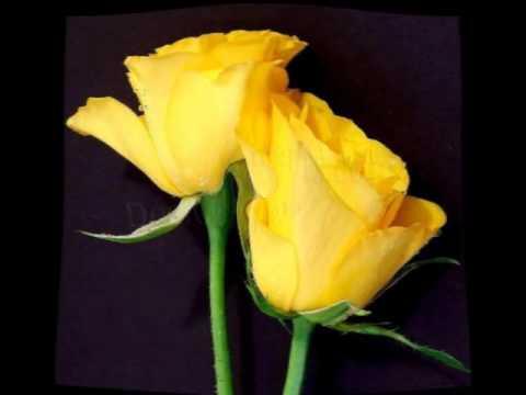 Yellow Roses - Heron 1970