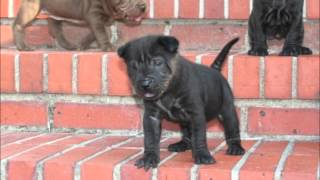 Puppy Pictures Of Puzzy, My Traditional Shar Pei