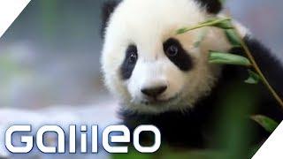 Die ungewöhnlichsten Jobs, um bedrohte Tiere zu schützen | Galileo | ProSieben
