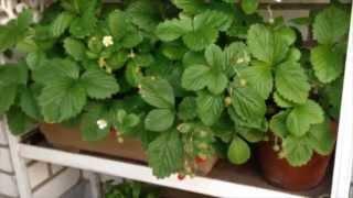 Shade Tolerant Edibles: Alpine Strawberries - Week 11