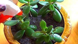 Отличное удобрение для комнатных растений. Луковая шелуха.