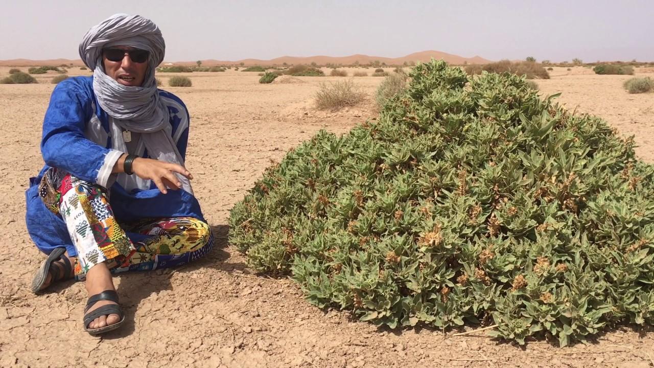 poisonous plants of the sahara part 2 erg chigaga luxury