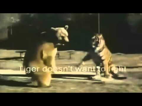 tiger-vs-grizzly-bear-fight-to-death
