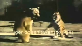 Tiger versus lion Historically, the comparative merits of the tiger...