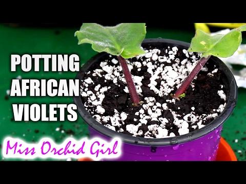 Potting African Violet Leaves + Worst soil I've ever seen!