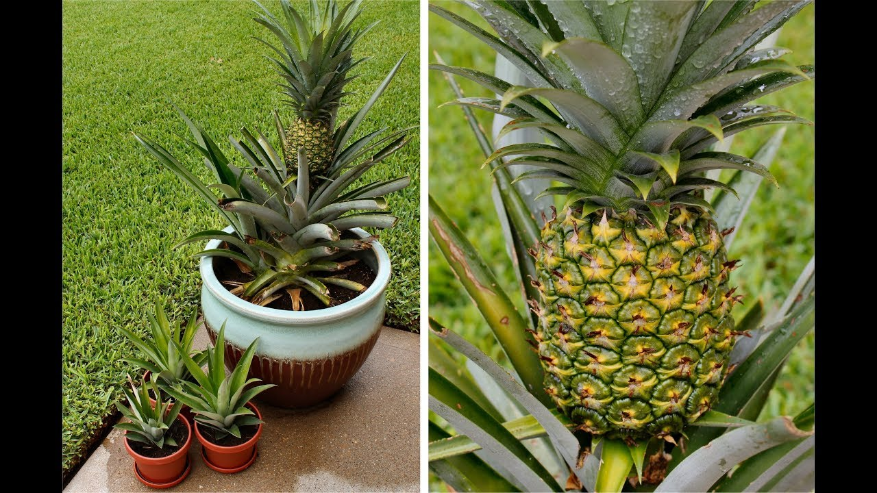 how to grow a pineapple video