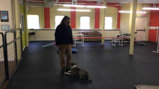 Aggressive Dog Rehab, Remote Collar Training How To Out Command