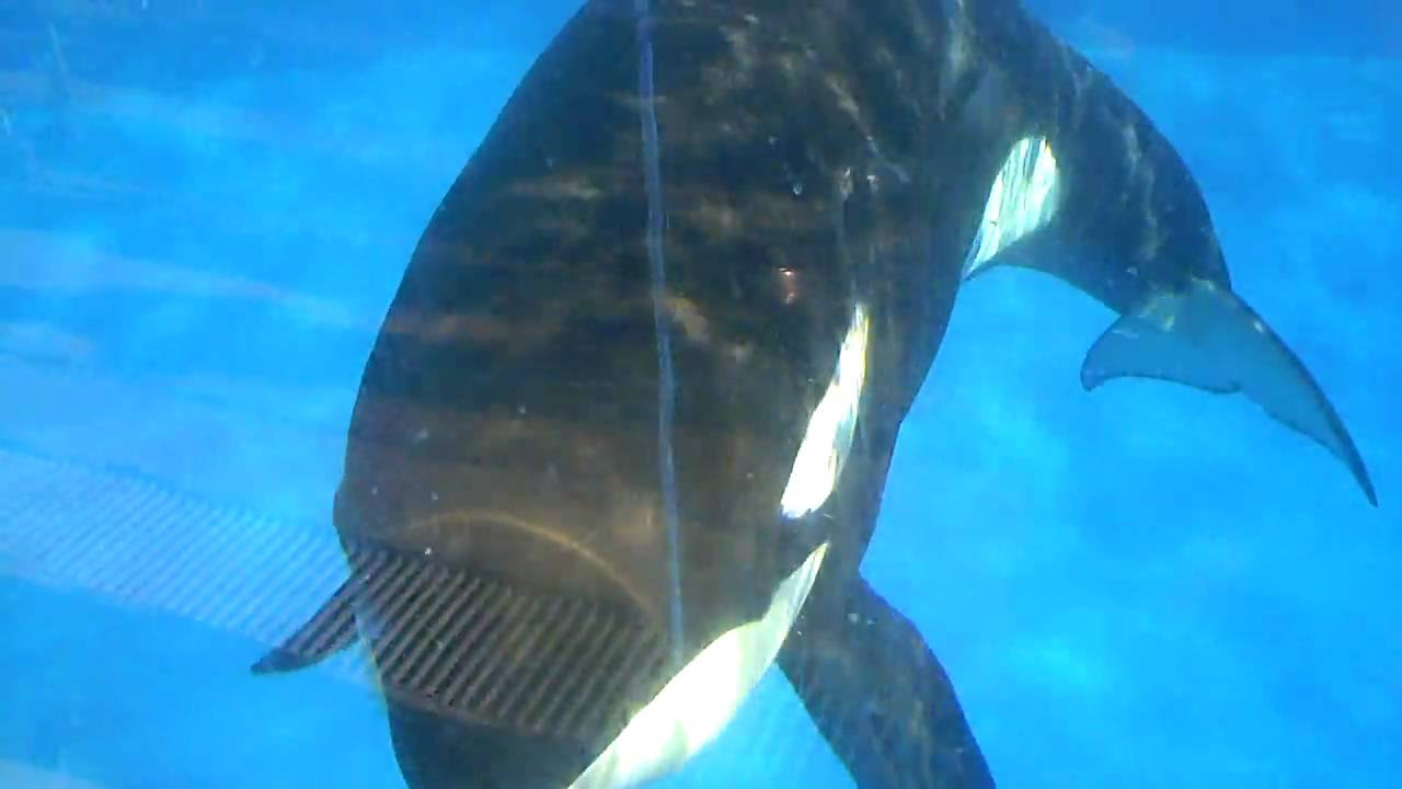 Killer Whale Eyes Close Up   www.pixshark.com - Images ...