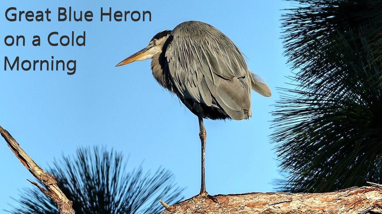 Great Blue Herons Sleep in Trees