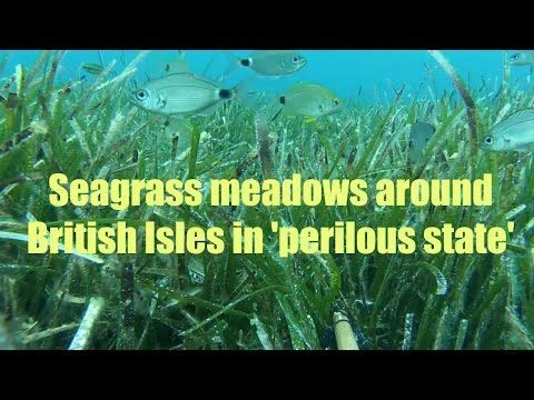 Seagrass meadows around British Isles in 'perilous state'