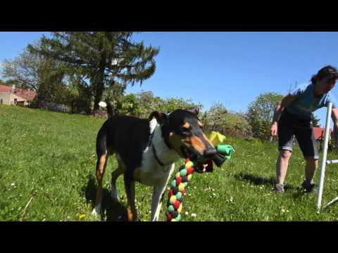 GO! Smooth Collie in Action