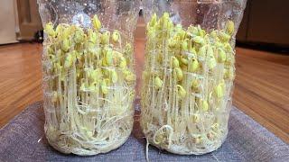 [주말농부] 페트병 콩나물 키우기.  페트병 콩나물 키…