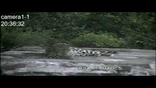 Дальневосточный леопард отдыхает как домашний кот/The Amur leopard is resting like a housecat