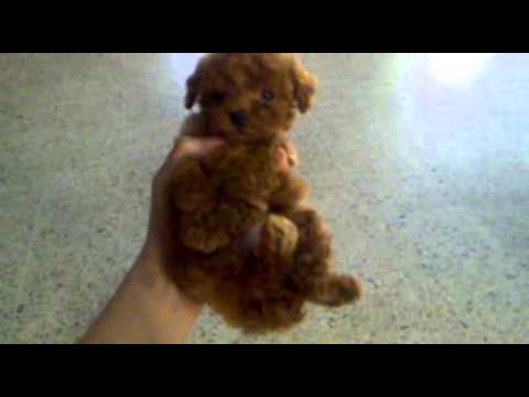 red mini toy poodle