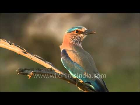 Indian Roller or Blue Jay (Coracias benghalensis) in Madhya Pradesh