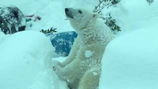 Snow day at the Oregon Zoo - Polar bear, River otters and a Elephant enjoy snow