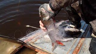 Рыбалка сетями на реке Амур Лов сазана коня красноперка