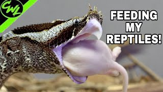 FEEDING MY VIPERS!!!(VENOMOUS & MORE!)