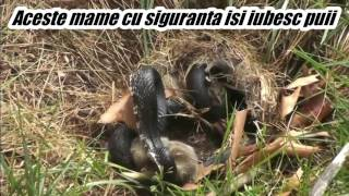Video Agresive animal mothers protect they babys .Amazing!!!!!!!! download MP3, 3GP, MP4, WEBM, AVI, FLV Oktober 2018