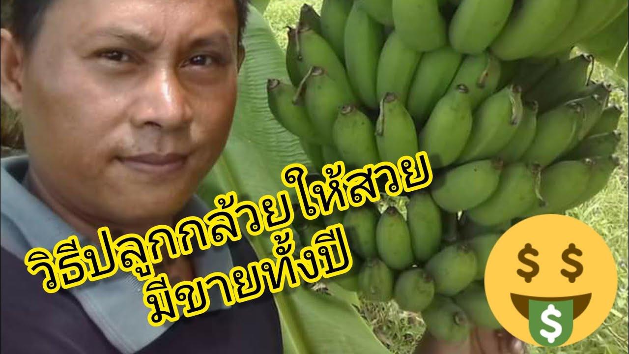 วิธีปลูกกล้วยให้สวย มีผลผลิตขายทั้งปี