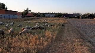 Выпас овец с помощью собаки помощника, бордер колли. Защита огорода от овец