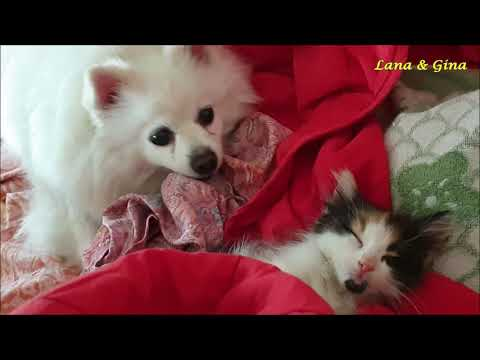 My German Spitz (Klein) Sees A Kitten For The First Time.....Her Reaction Was Unexpected!