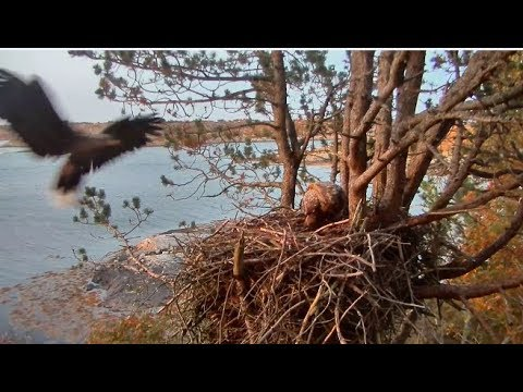 Smola Norway Eagles Cam ~ Baron & Baroness Home; Mom Sleeps In Nest 9.29.17