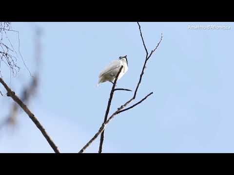 Вопрос: Какая птица самая громкая?