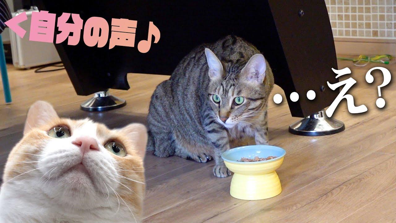 自分の鳴き声がごはん中に聞こえてきたら猫たちの反応が……