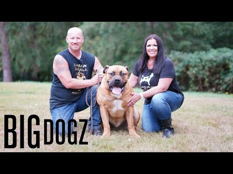 Barbarian Boerboels  The 200lb Dogs Of War | BIG DOGZ