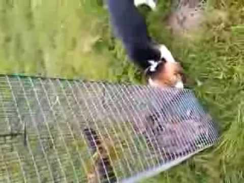 Debourrage Beagle au lapin - YouTube