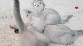 Шотландские котята в продаже