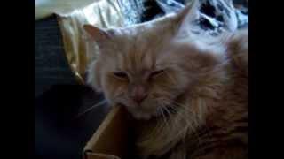 Cat song  ( Кот поёт песню )