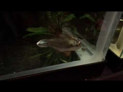 Red Eye Red Belly Puffer (Carinotetraodon Lorteti) Eating A Snail!